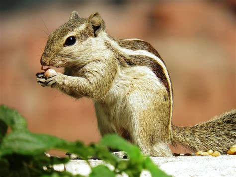 squirrel eating peanut by kumarvijay1708 on deviantart