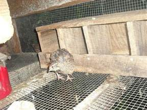 what do you use for quail nesting boxes