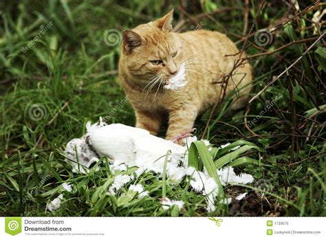 cats prey cat and prey of pigeon stock photo image of eating bird 1733570