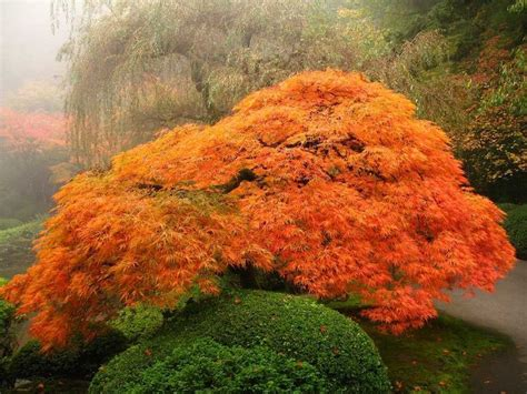best maple tree varieties 100 best images about japanese maple fall color on pictures of and emperor
