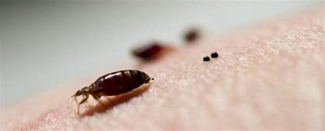 bed bug alert bed bugs in the us have developed extreme tolerance to