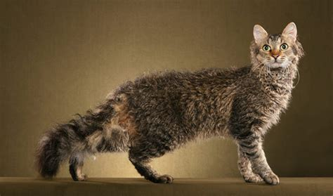 laperm cat breed information