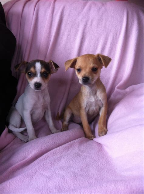 puppy for jackawawa puppies for sale droitwich worcestershire pets4homes