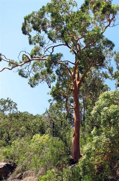 tree in angophora costata