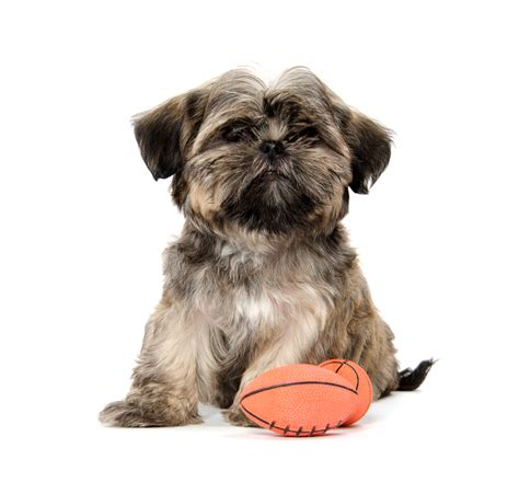shih tzu how big do they get afl grand with your pets jetpets