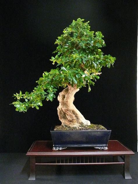 care guide   carmona bonsai tree fukien tea