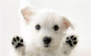 puppy wallpaper white dog wallpapers wallpaper cave