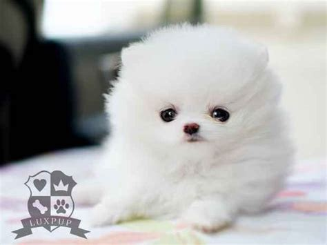 snow white pomeranian white pomeranian pomeranians and snow white on