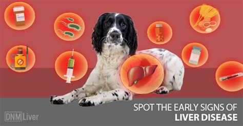 signs of liver failure in dogs spot the early signs of liver disease in dogs dogs naturally magazine