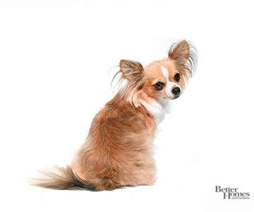 Hair Chihuahua Shedding by 1000 Ideas About Shedding On