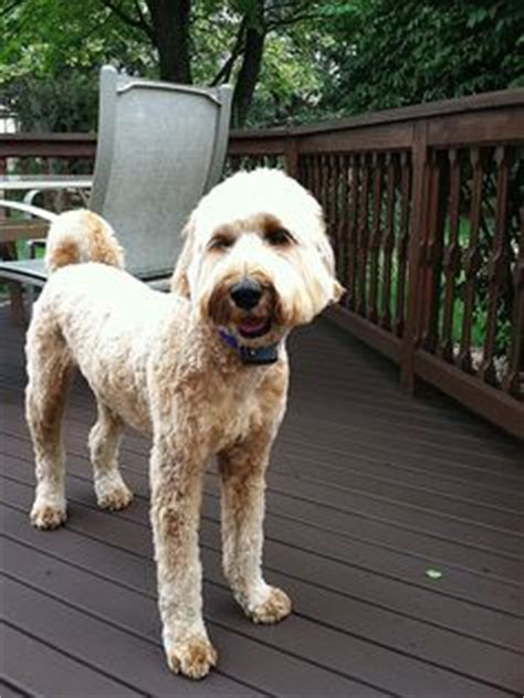 goldendoodle puppy itching summer haircuts haircuts and haircut on
