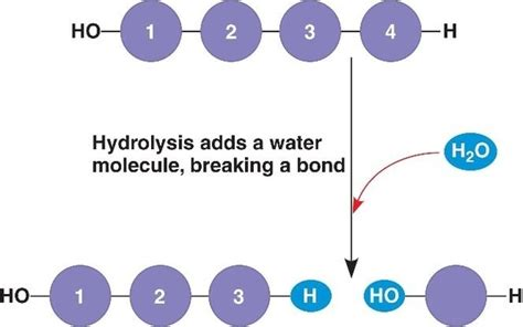 difference b w hydration and hydrolysis what is the difference between hydrolysis and hydration