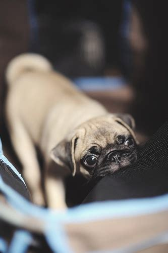 pug puppy biting 1000 images about pug on pug sleep and puppys