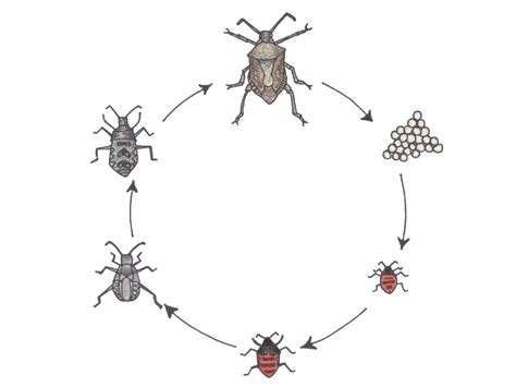 bug cycle diagram diagram of goliath beetle stag beetle elsavadorla