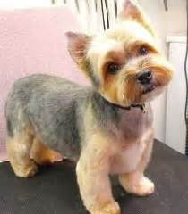 hair cut for yorkie pekachon yorkie haircuts excellence hairstyles gallery furry