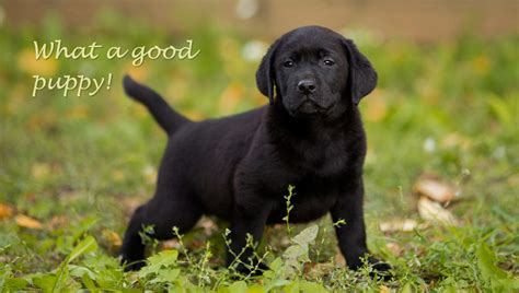 how to potty an fast how to potty a lab puppy fast dogs our friends photo