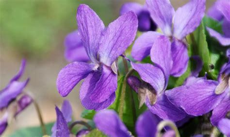 fiore profumato viole come coltivare il fiore pi 249 profumato www stile it