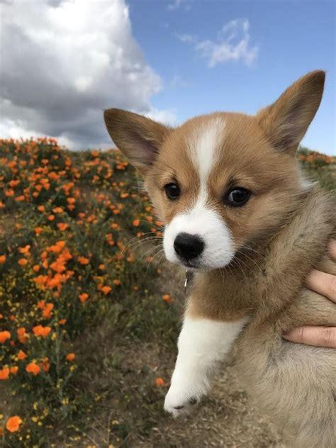 find corgi puppies best 25 corgi puppies ideas on baby corgi adorable puppies and korgi puppies