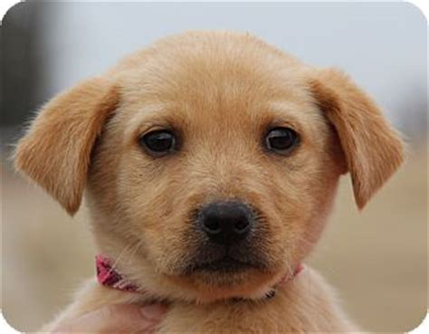 golden retriever puppies adoption mn tilly adopted puppy minnetonka mn golden retriever labrador retriever mix