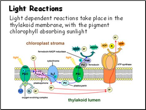 Where Does Light Dependent Reaction Take Place by Photosynthesis Presentation Biology Sliderbase