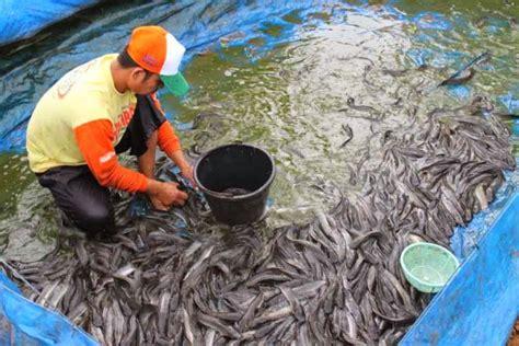 Jual Kolam Terpal Untuk Budidaya Ikan Konsumsi jual beli lele di lung panduan lengkap budidaya ikan lele