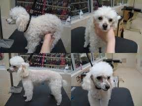 different styles of hair cuts for poodles toy poodle grooming styles