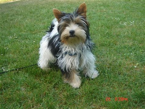 yorkie club of america breeders biewer biewer terriers breed info center breeds picture