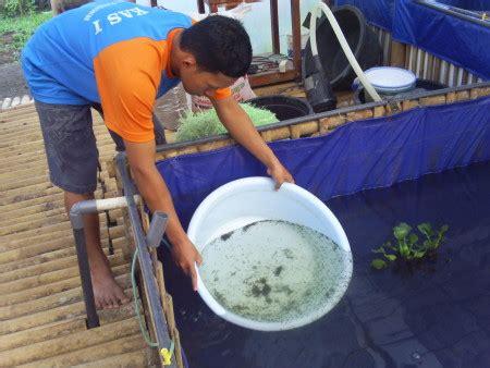 Benih Ikan Lele Per Kilo 7 langkah budidaya ikan lele pembesaran lengkap dan urut