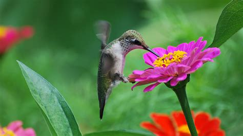 small hummingbird drinking nectar from the flower hd