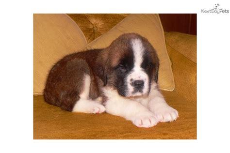 st bernard puppies mn bernard st bernard puppy for sale near brainerd minnesota 095e6e6b 05c1