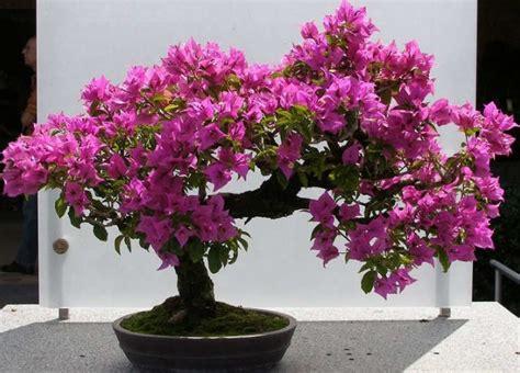 Bibit Bunga Bugenvil cara menanam bunga kertas bougenville dalam pot agar