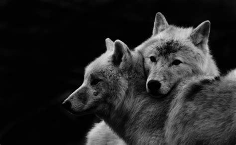 black wolf aesthetic tumblr