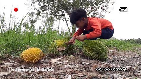 berburu durian hutan aceh ternyata wisata kuliner nikmat