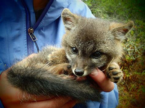 island fox santa cruz island reserve