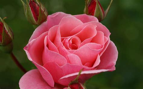 imagenes rosas hd galer 237 a de im 225 genes rosas rosadas