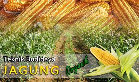 Budidaya Jagung Organik pedoman teknik budidaya tanaman jagung organik