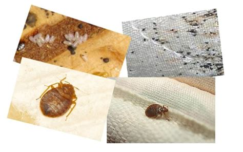 will boric acid kill bed bugs boric acid for bed bugs the sticky side the nonsticky