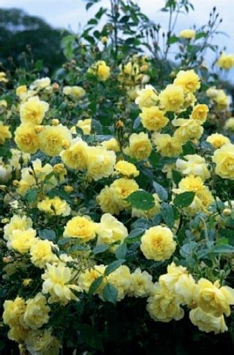 Climbing Yellow yellow climbing roses for sale yellow climbing roses