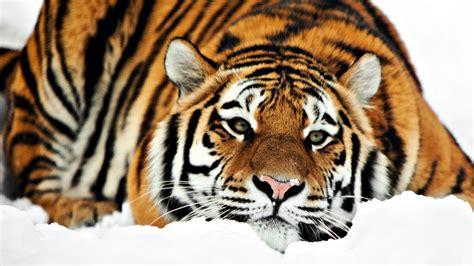 wallpaper tiger free download beautiful tiger wallpapers free download