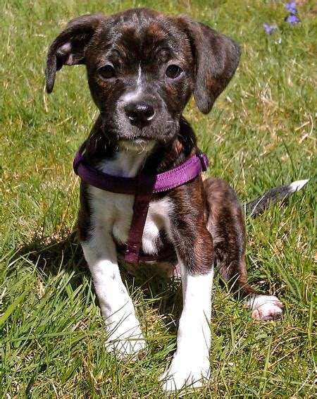 bogle puppies for sale mix dogs pictures photos pics images gallery breed puppies breeds picture