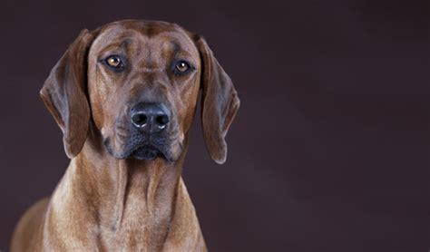 grand mal seizure in dogs epilepsy gene identified in dogs
