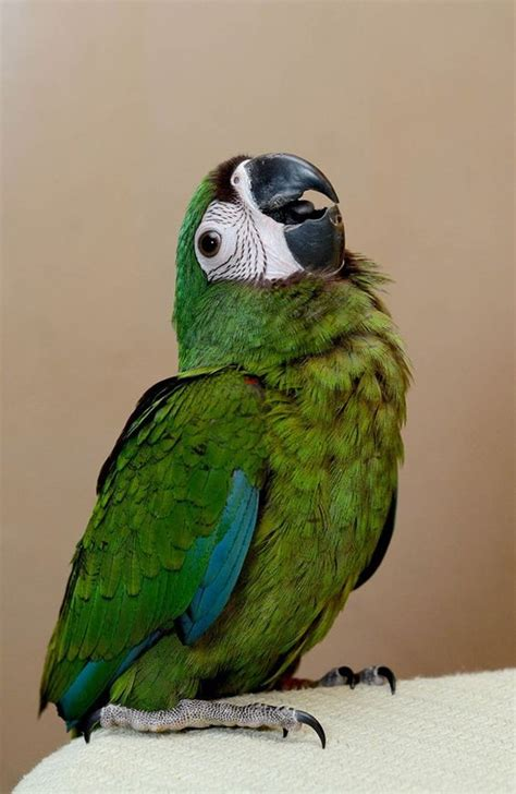 severe macaw facts care as pets personality price pictures singing wings aviary