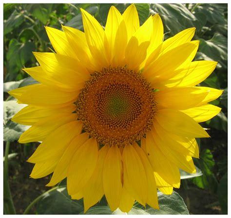 il linguaggio dei fiori il girasole fantasticandoinsieme