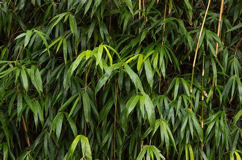 bambus winter bambus 252 berwintern 187 so bringen sie ihren bambus durch den