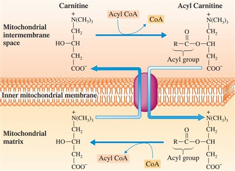 carbohydrates in atp production energy levels ketosis fats carbs and atp the