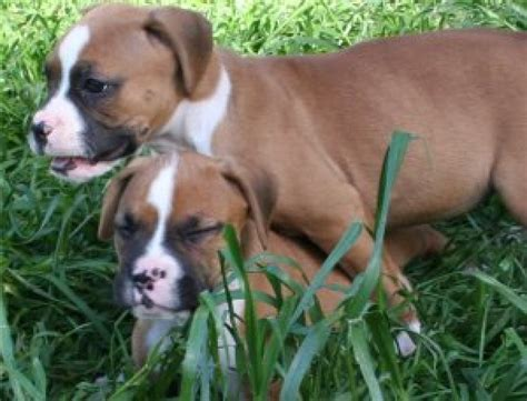 boxer puppies available excellent boxer puppies available offer 200