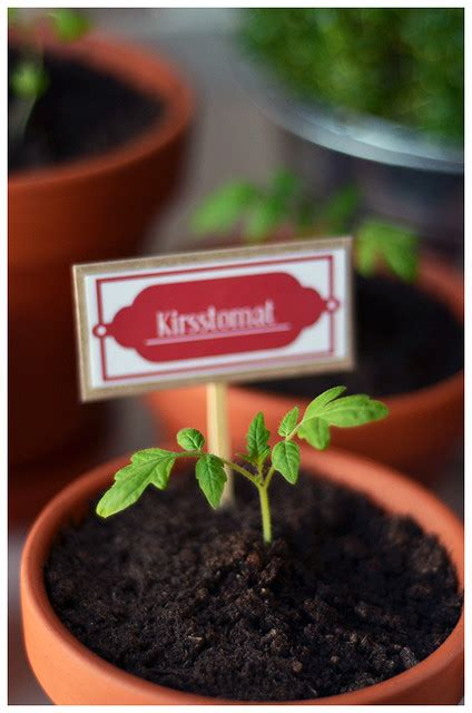 month  tomato plant flickr photo sharing