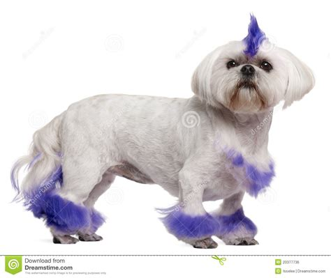 shih tzu mohawk shih tzu with purple mohawk 2 years royalty free stock image image 20377736