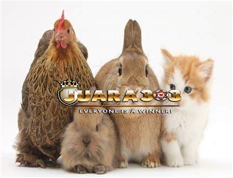 Ayam Hias Pekin ayam pekin bantam wajib di pelihara alasan nya