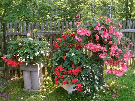 how to plant begonia and winter storage of tuberous begonias weed it reap
